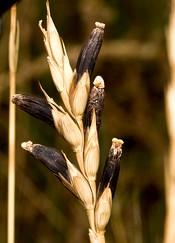 Aclarada la controversia en torno a los preparados con levadura roja de arroz contra el colesterol