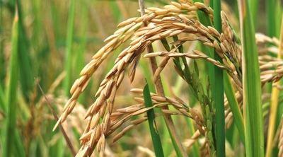 Científicos chinos descubren el gen que ayuda a adaptación de arroz a clima frío