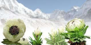 Investigadores chinos descubren nueva especie de loto de la nieve
