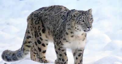 Avistan al suroeste de China un leopardo de las nieves