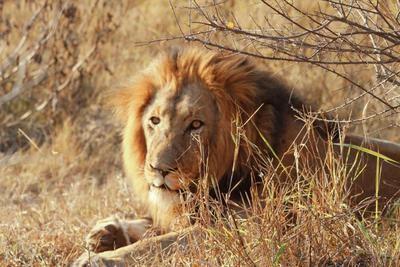 El zoo de Ucrania cede cinco leones a Sudáfrica para repoblación