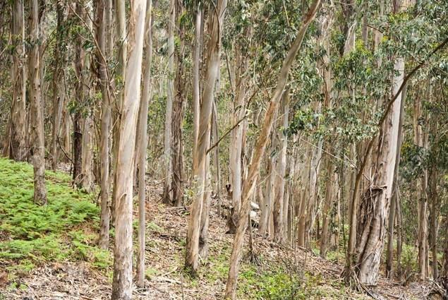 El eucalipto, una especie maldecida